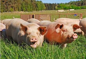 减轻夏季热应激对猪不良影响的主要措施