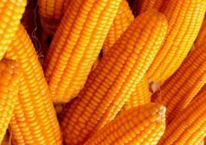 【玉米市场】拍卖轮换双拍齐下 玉米价格跌幅有限