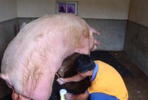 猪场内影响人工授精效