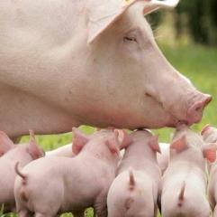 仔猪腹泻治疗五步法