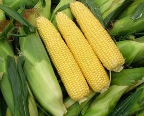 玉米现货行情及今日预测【7.21】
