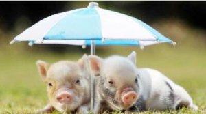 盛夏季节养猪必须加强防暑降温工作