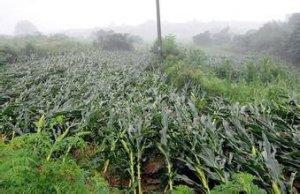 农业部预计:今年玉米面积调减超3000万亩