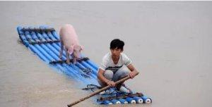 洪水来临下的猪与人