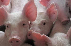 治疗仔猪腹泻不只靠药物