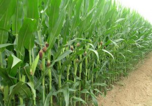 玉米市场中隐藏的惊天大阴谋!