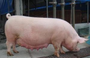 母猪产畸形胎儿,除了