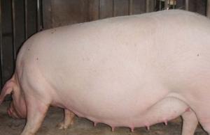 猪乳房疾病怎么治?这里全是干货!