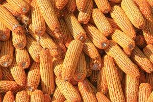 6月份国内玉米价格明显反弹 国际价格大幅