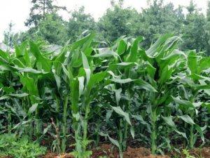 """黑龙江""""玉米改大豆""""面积达到700多万亩"""