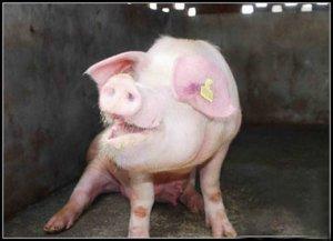 通过尖叫声判断猪的健康及福利水平?