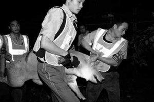 湖南查处屠宰母猪上千头的屠宰销售黑窝点