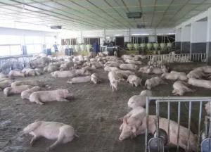 新生仔猪管理技术要点的应用!