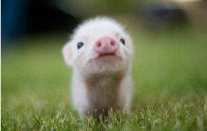 欧盟猪价:市场均衡