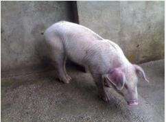 俄罗斯向罗马尼亚和摩尔多瓦发出非洲猪瘟(ASF)风险警告