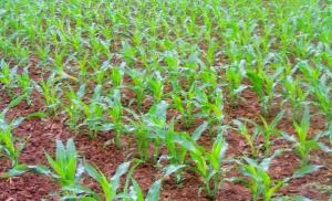 农业部:玉米面积调减 确保农民收益稳定