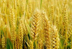 注意!你还在囤着小麦等涨价?这个赌打得太有风险