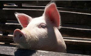 8月猪价能否开门红?