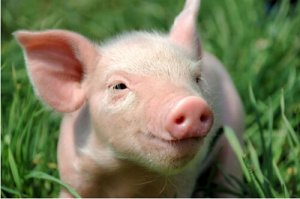 江苏省灌南县:生猪养殖成该县科技特色产业