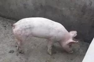 咬尾的产生错不在猪,错在管理者,怎样做到合理、安全断尾呢?