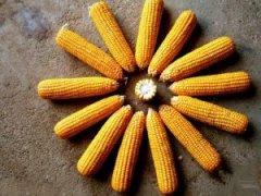 8月9日超期储存和�t�囤储存玉米交易结果