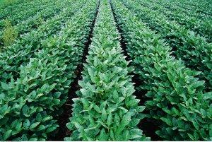 我国拟在大豆优势区域建立大豆生产保护区