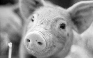 猪咳喘病治疗的真相,