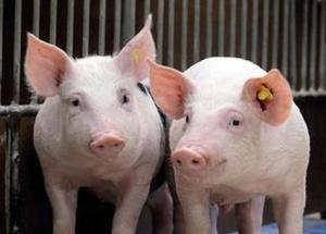 母猪产后无乳症的防治