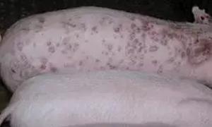 """猪皮炎肾病综合症""""往"""