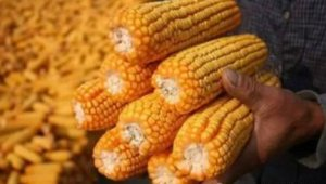 玉米补贴拨付 市场是喜是忧