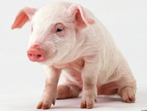 猪中毒之后的常见解救