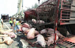 惨!两车相撞拉猪车侧翻致大量生猪死亡