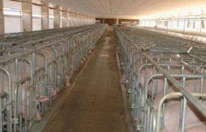 养猪场中不是所有的死亡都和疾病有关,读完你就懂了还有哪些需要注意细节!