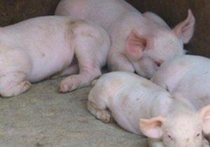 不是所有的腹泻都是病毒性腹泻  要重视仔猪营养性腹泻的防控