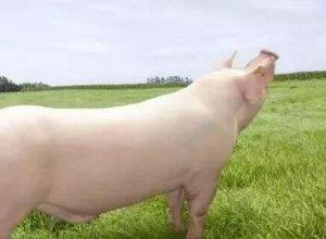 两类种公猪的营养管理