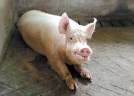 猪呼吸道症状-流鼻涕