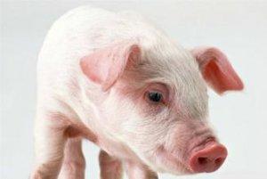 猪呼吸道症状-猪打喷