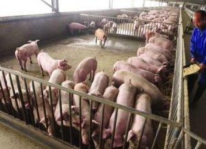 猪场如何选择猪支原体肺炎疫苗?