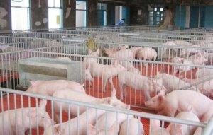 正大集团24万头生猪养殖扶贫项目助推金沙脱贫攻坚
