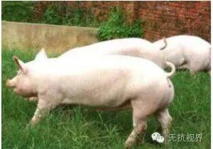 秋天对养猪有何影响?