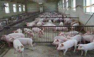 超详细猪场问题改进方案,看看说不定对您有用!