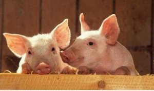 猪价行情还是会涨,但