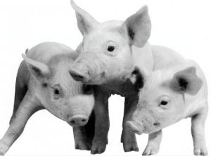 易引起猪的高烧不退疾病及其防治