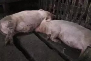 从母猪生理及饲料营养的角度系统分析母猪便秘的原因