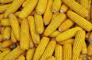 美国农业部:私人出口商对墨西哥售出129,540吨玉米