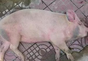 让猪起死回生的几大妙招?!