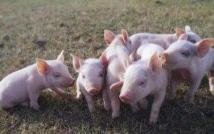 生猪养殖过程中的四个