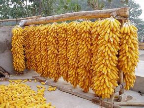 玉米价格保险70%保费由农业部承担