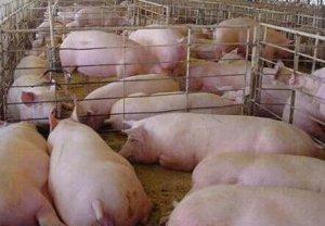 猪价开始涨了?这些数