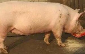 母猪厌食综合征的一些技巧性防治措施